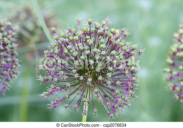 allium seed head - csp2076634