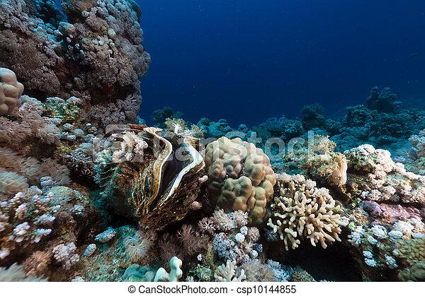 Almeja gigante y arrecife tropical en el Mar Rojo. - csp10144855