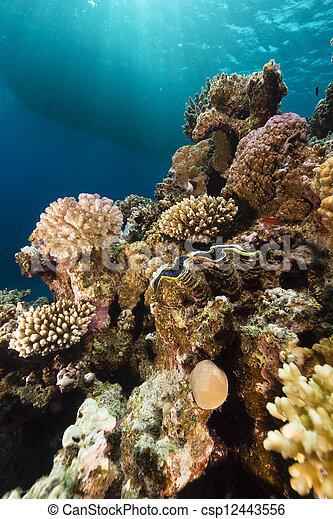 Almeja gigante y arrecife tropical en el Mar Rojo. - csp12443556