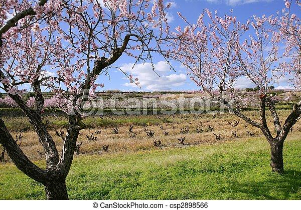 Almond flower trees field pink white flowers almond flower stock almond flower trees field pink white flowers csp2898566 mightylinksfo