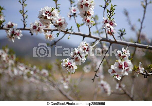 Almond flower trees field pink white flowers almond flower stock almond flower trees field pink white flowers csp2898596 mightylinksfo