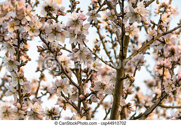 Almond Tree in Bloom - csp44910702
