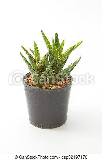 Aloe house plant in a pot, isolated on white background - csp32197170