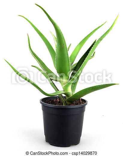 aloe vera leaves detailed - csp14029870
