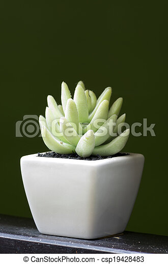 Aloe vera. in small white pots. using the interior.