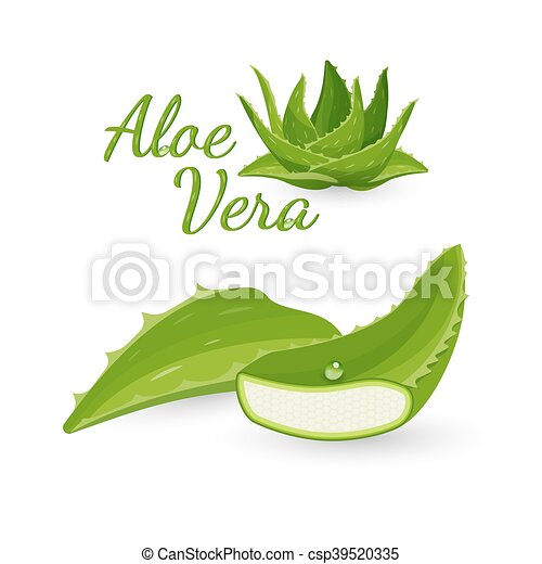Aloe Vera Plant And Its Parts Vector Illustration