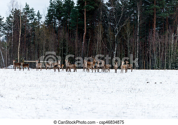 Along the edge of the forest walking bunch of deer. - csp46834875