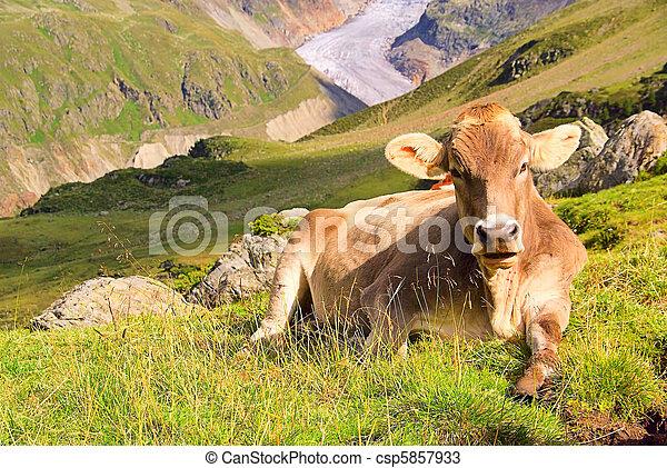alp cow 22 - csp5857933