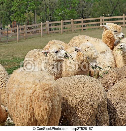 alpaca in the farm - csp27526167