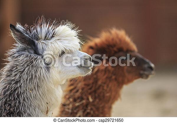 alpaca - csp29721650