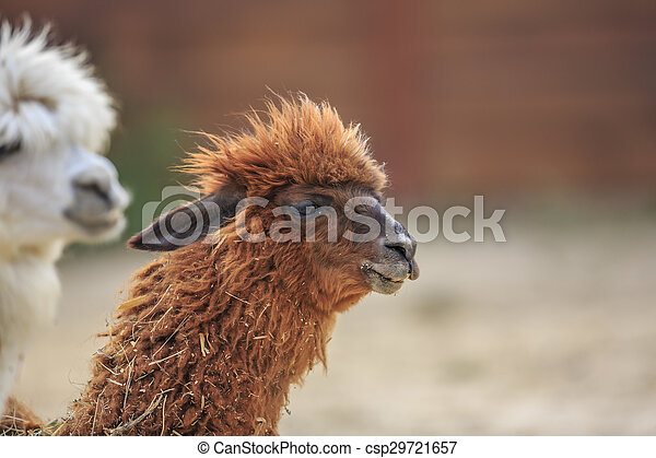 alpaca - csp29721657