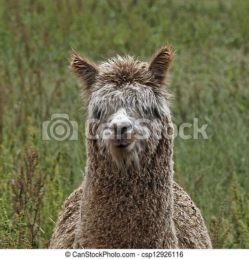 Alpaca (Vicugna pacos), Paco - csp12926116