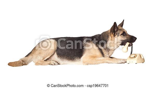 Alsatian dog holding phone handset - csp19647701