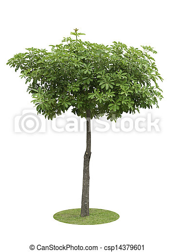 Alstonia Apocynaceae, a decoration tree isolated over white background - csp14379601