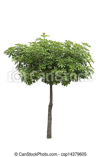 Alstonia Apocynaceae, a decoration tree isolated over white background - csp14379605
