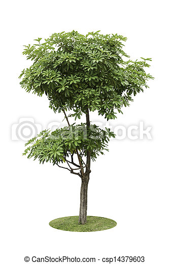 Alstonia Apocynaceae, a two level of decoration tree isolated over white background - csp14379603