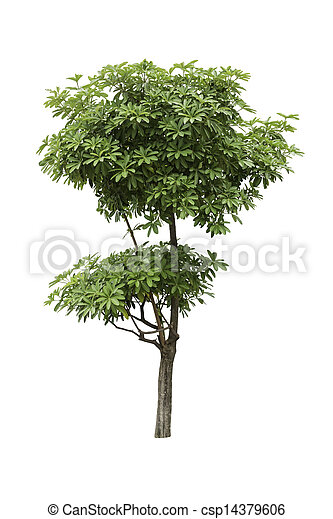 Alstonia Apocynaceae, a two level of decoration tree isolated over white background - csp14379606