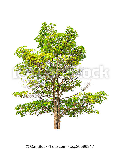 Alstonia scholaris (Apocynaceae), commonly called Blackboard tre - csp20596317