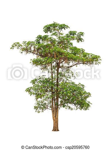 Alstonia scholaris (Apocynaceae), commonly called Blackboard tre - csp20595760