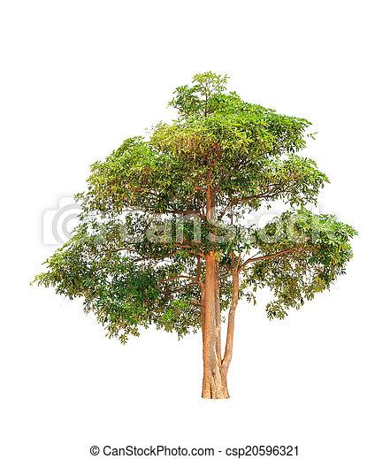 Alstonia scholaris (Apocynaceae), commonly called Blackboard tre - csp20596321