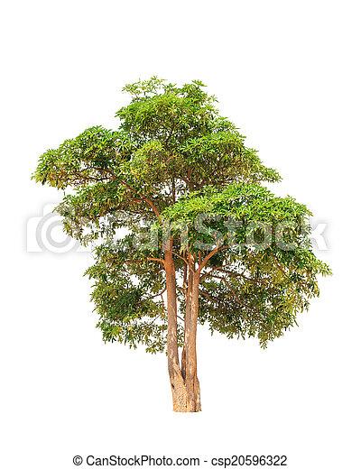 Alstonia scholaris (Apocynaceae), commonly called Blackboard tre - csp20596322