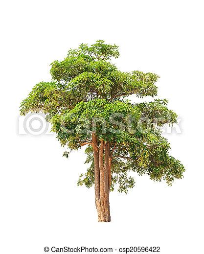 Alstonia scholaris (Apocynaceae), commonly called Blackboard tre - csp20596422