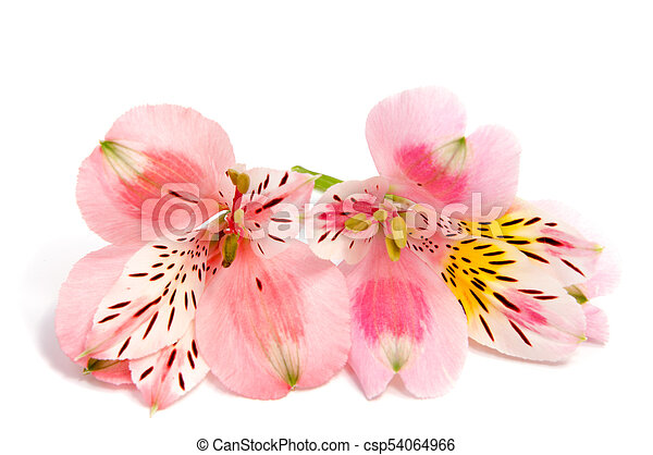 Alstroemeria flower head closeup isolated on white stock image alstroemeria flower head closeup isolated on white background csp54064966 mightylinksfo Gallery