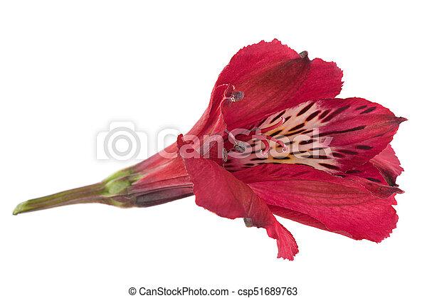 Alstroemeria flower head closeup isolated on white background alstroemeria flower head csp51689763 mightylinksfo