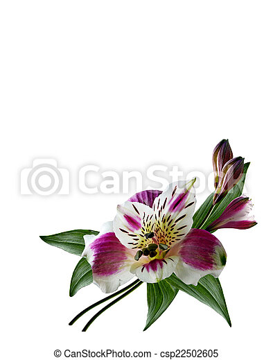 Alstroemeria flower isolated on white background stock photography alstroemeria flower isolated on white background csp22502605 mightylinksfo Gallery