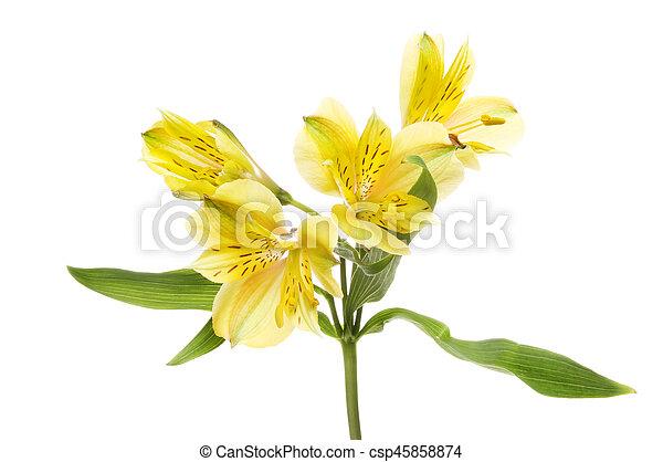 Alstroemeria flowers and foliage yellow alstroemeria peruvian lily alstroemeria flowers and foliage csp45858874 mightylinksfo