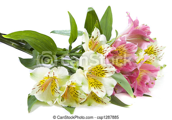 White and pink alstroemeria flowers on white ground alstroemeria flowers csp1287885 mightylinksfo
