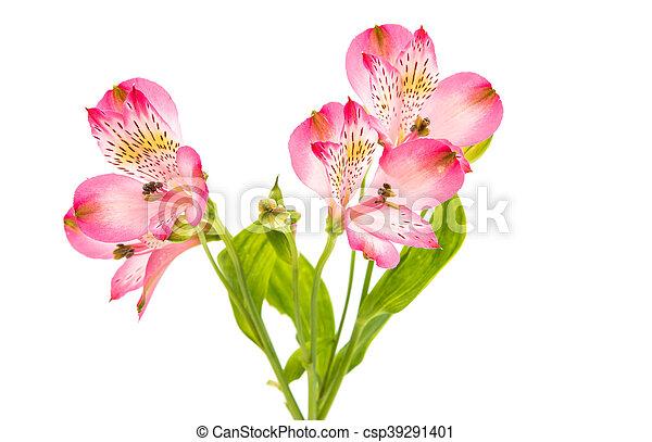 Alstroemeria flowers alstroemeria on a white background stock alstroemeria flowers csp39291401 mightylinksfo