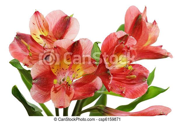 Alstroemeria fresh alstroemeria flowers isolated on white background alstroemeria csp6159871 mightylinksfo