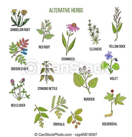 Alterative herbs. Hand drawn set of medicinal plants - csp45819097