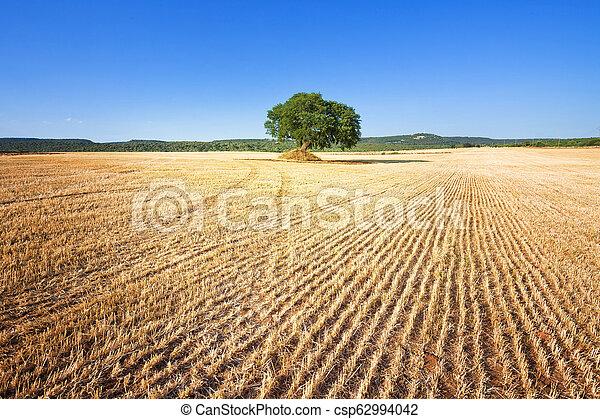 Martina Franca, Apulien - Ein einziger alter Baum, der nach der Ernte auf einem Feld verblieb - csp62994042