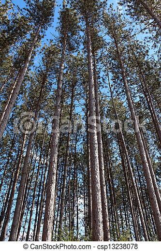 alto, madeiras, árvores pinho, saída - csp13238078