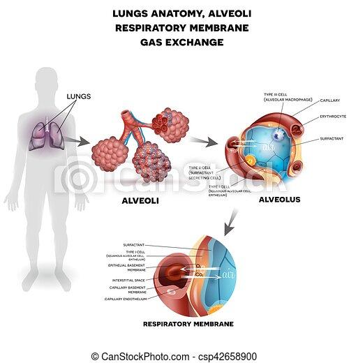 Alveoli anatomy, respiration. Respiratory system, lungs and alveoli ...