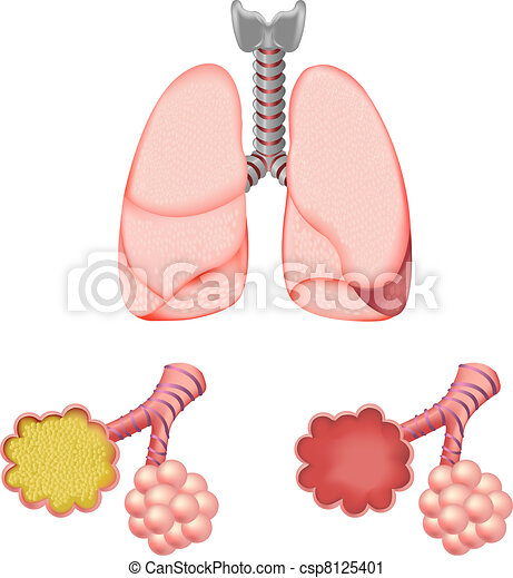 Alveoli in and lungs, isolated on white background, vector ...