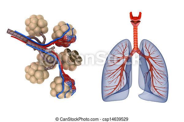 Alveoli in lungs - blood saturating - csp14639529