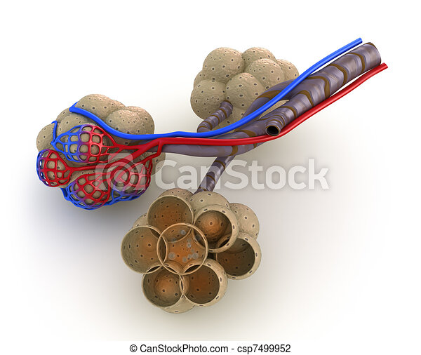 Alveoli in lungs - blood saturating - csp7499952