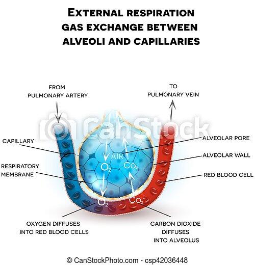Anatomía Alveoli, respiración - csp42036448