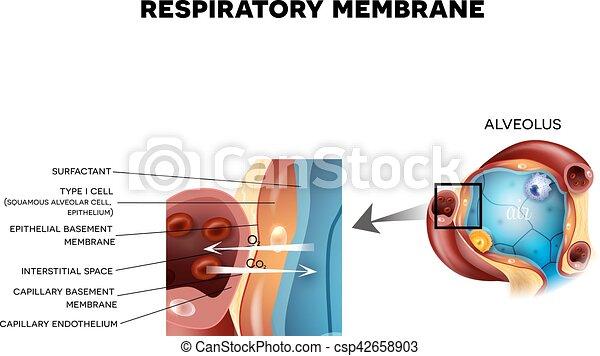 Alveolus and respiratory membrane detailed anatomy. Respiratory ...