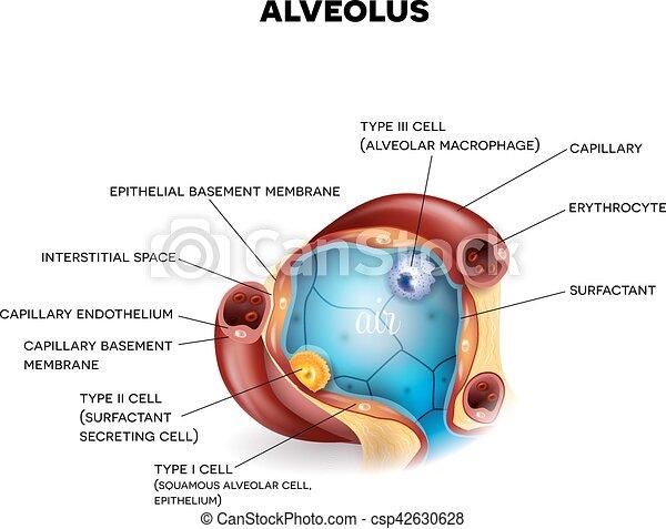 Alveolus closeup anatomy, three types of alveolar cells, capillaries ...