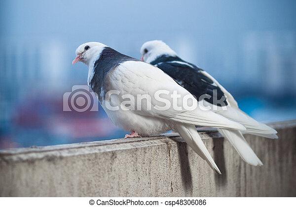 Dos amantes palomas blancas y negras en el balcón para saludar al atardecer y al sol - csp48306086