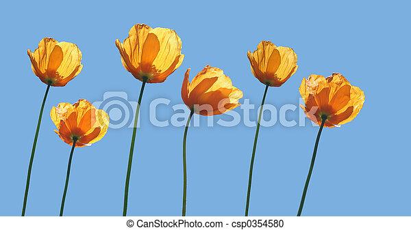 amarela, papoulas - csp0354580