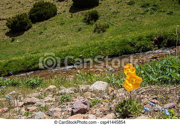 amarela, papoulas - csp41445854