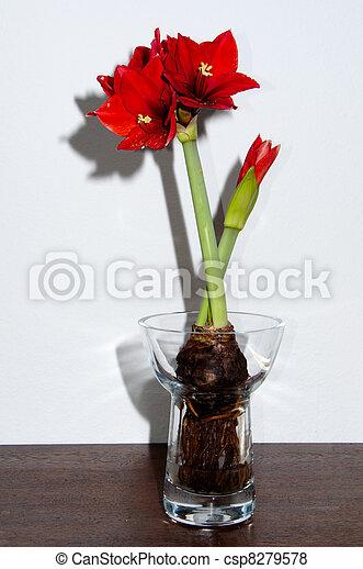 Bulbi In Vaso Di Vetro.Amarilli Rosso