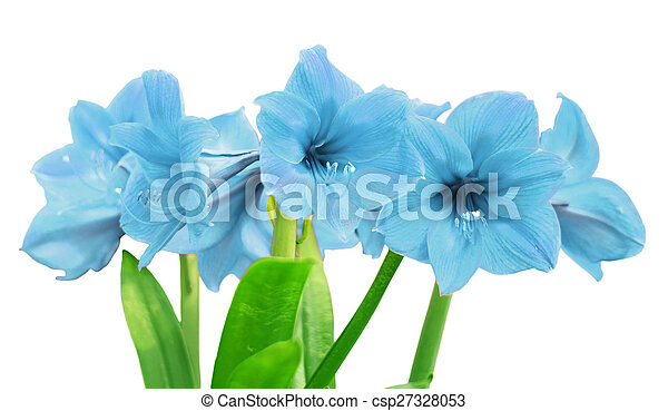 amaryllis bleu