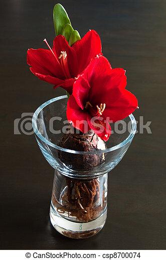 amaryllis rood amaryllis op vaas donker glas rode. Black Bedroom Furniture Sets. Home Design Ideas