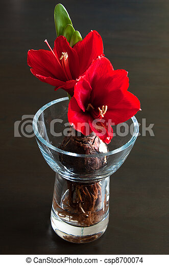 amaryllis rood amaryllis op vaas donker glas rode stockfoto zoek naar foto 39 s en. Black Bedroom Furniture Sets. Home Design Ideas
